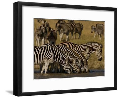 Herd of Burchell's Zebras Drinking at a Watering Hole-Beverly Joubert-Framed Art Print