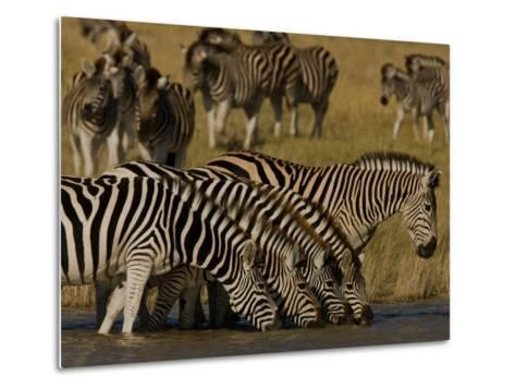 Herd of Burchell's Zebras Drinking at a Watering Hole-Beverly Joubert-Metal Print