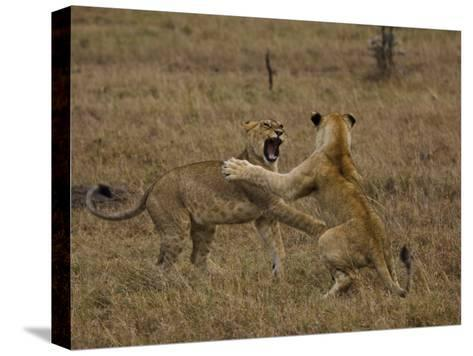Sub Adult African Lions Fighting-Beverly Joubert-Stretched Canvas Print