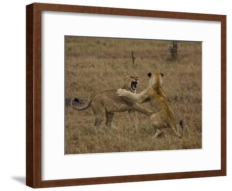 Sub Adult African Lions Fighting-Beverly Joubert-Framed Art Print