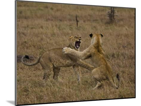 Sub Adult African Lions Fighting-Beverly Joubert-Mounted Photographic Print