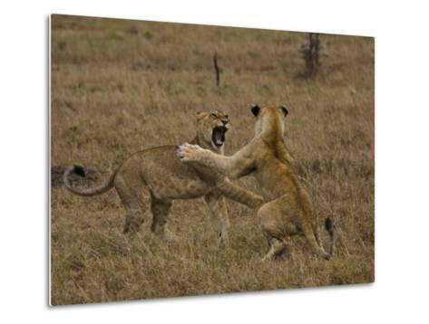 Sub Adult African Lions Fighting-Beverly Joubert-Metal Print