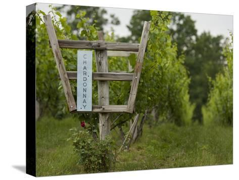 Chardonnay Grapes at a Vineyard in Virginia-Greg Dale-Stretched Canvas Print