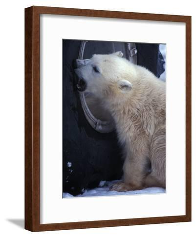 Polar Bear Bites at a Tire-Nick Norman-Framed Art Print