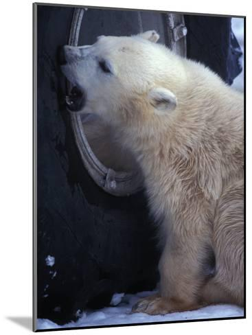 Polar Bear Bites at a Tire-Nick Norman-Mounted Photographic Print