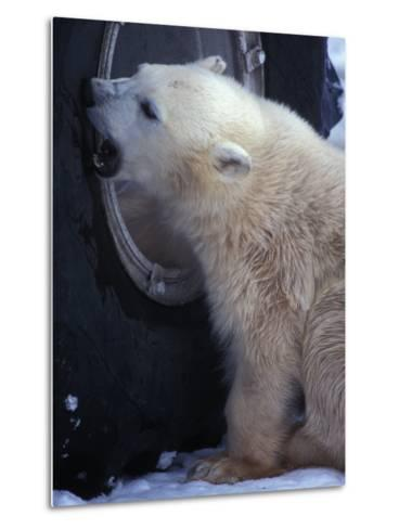 Polar Bear Bites at a Tire-Nick Norman-Metal Print