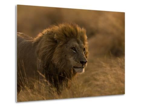 Male African Lion, Panthera Leo, in Golden Grasslands-Beverly Joubert-Metal Print