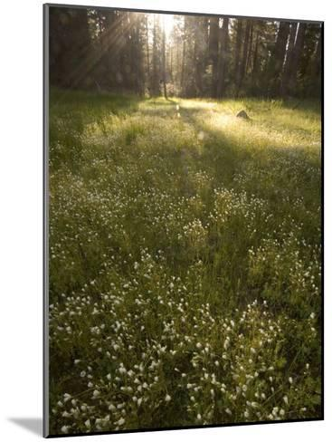 Ackerson Meadow Area at Daybreak-Phil Schermeister-Mounted Photographic Print