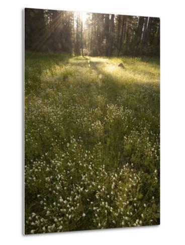 Ackerson Meadow Area at Daybreak-Phil Schermeister-Metal Print
