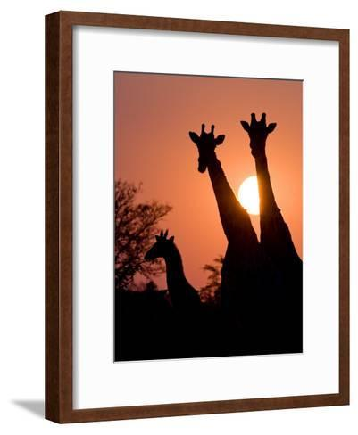 Two Adult Giraffes and a Baby Silhouetted by an Orange Sunset-Karine Aigner-Framed Art Print