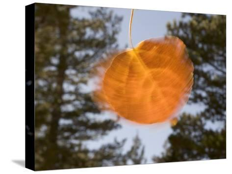 Quivering Yellow Orange Aspen Leaf-Phil Schermeister-Stretched Canvas Print