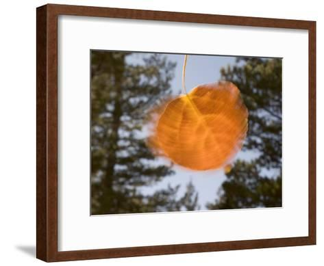 Quivering Yellow Orange Aspen Leaf-Phil Schermeister-Framed Art Print