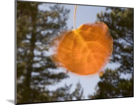 Quivering Yellow Orange Aspen Leaf-Phil Schermeister-Mounted Photographic Print