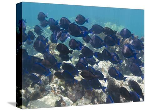 School of Blue Tangs Swimming over the Coral Reefs Off Key Largo-Mike Theiss-Stretched Canvas Print