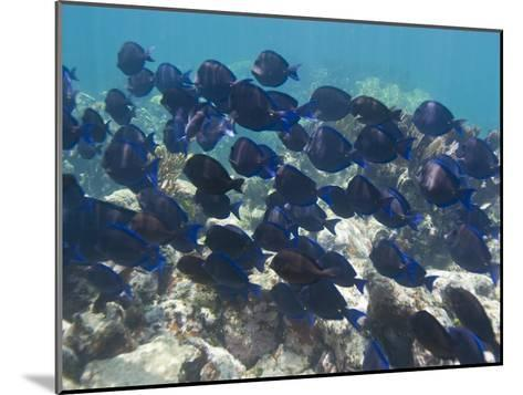 School of Blue Tangs Swimming over the Coral Reefs Off Key Largo-Mike Theiss-Mounted Photographic Print