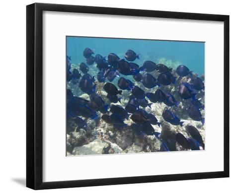 School of Blue Tangs Swimming over the Coral Reefs Off Key Largo-Mike Theiss-Framed Art Print