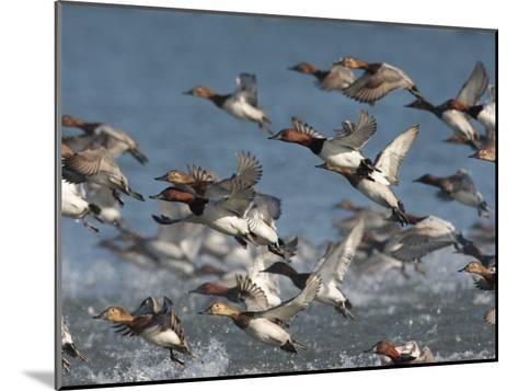 Canvasback Ducks, Aythya Valisineria, Taking Flight from the Water-George Grall-Mounted Photographic Print