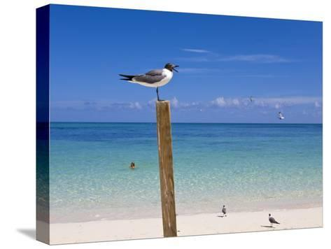 Man Swimming and Gulls Basking on a Clear Bahamas Day at the Beach-Mike Theiss-Stretched Canvas Print