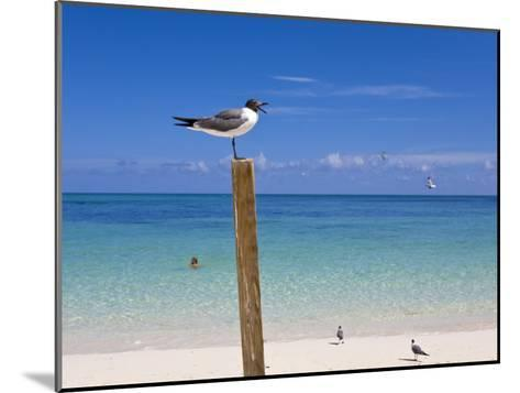 Man Swimming and Gulls Basking on a Clear Bahamas Day at the Beach-Mike Theiss-Mounted Photographic Print