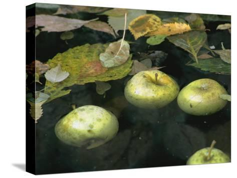 Four Green Apples Floating in a Pond in the English Walled Garden-Paul Damien-Stretched Canvas Print