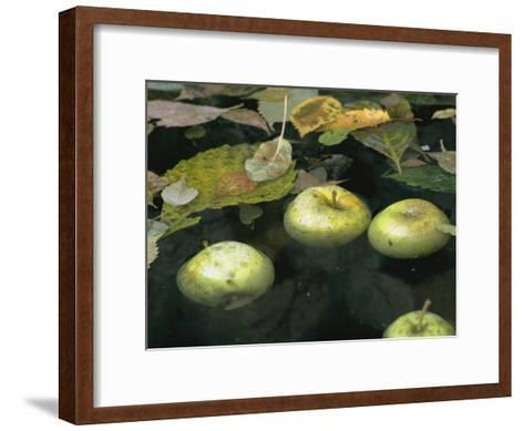 Four Green Apples Floating in a Pond in the English Walled Garden-Paul Damien-Framed Art Print