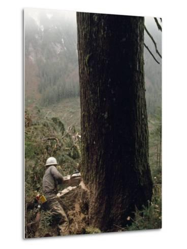 Logger with a Chainsaw Takes Down a Massive Old Tree-Chris Johns-Metal Print