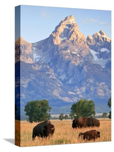 Group of Bison Pass Beneath the Grand Teton in Wyoming-Drew Rush-Stretched Canvas Print