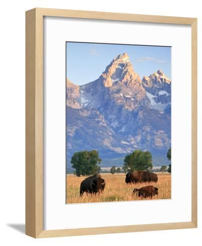 Group of Bison Pass Beneath the Grand Teton in Wyoming-Drew Rush-Framed Art Print