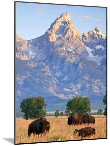 Group of Bison Pass Beneath the Grand Teton in Wyoming-Drew Rush-Mounted Photographic Print