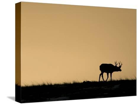 Young Mule Deer Buck Chases a Doe in the Evening Hours in Wyoming-Drew Rush-Stretched Canvas Print