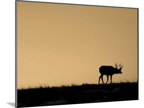 Young Mule Deer Buck Chases a Doe in the Evening Hours in Wyoming-Drew Rush-Mounted Photographic Print