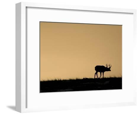 Young Mule Deer Buck Chases a Doe in the Evening Hours in Wyoming-Drew Rush-Framed Art Print