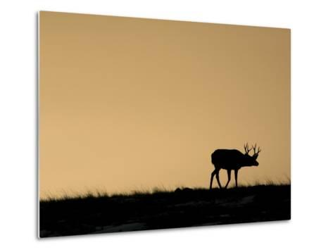Young Mule Deer Buck Chases a Doe in the Evening Hours in Wyoming-Drew Rush-Metal Print