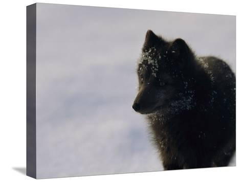Portrait of a Blue Arctic Fox (Alopex Lagopus) in Svalbard-Norbert Rosing-Stretched Canvas Print