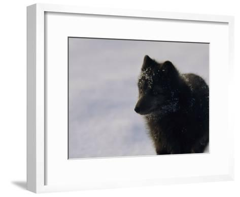 Portrait of a Blue Arctic Fox (Alopex Lagopus) in Svalbard-Norbert Rosing-Framed Art Print