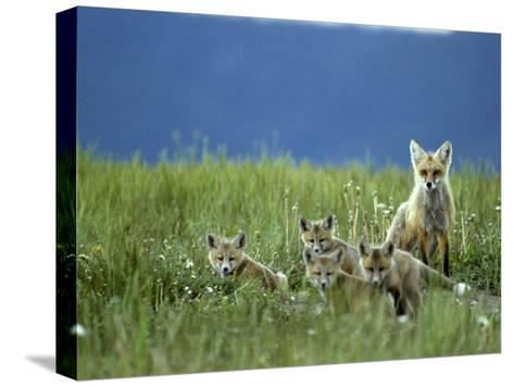 Red Fox Family, Idaho-Michael S^ Quinton-Stretched Canvas Print