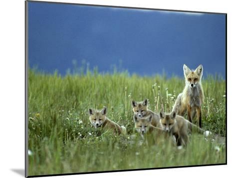 Red Fox Family, Idaho-Michael S^ Quinton-Mounted Photographic Print