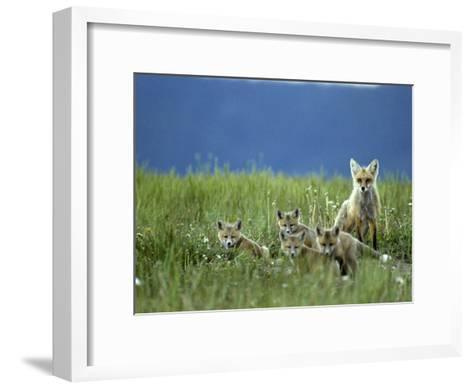 Red Fox Family, Idaho-Michael S^ Quinton-Framed Art Print