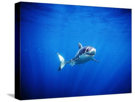 Great White Shark with Rays of Sunlight, Carcharodon Carcharias-James Forte-Stretched Canvas Print