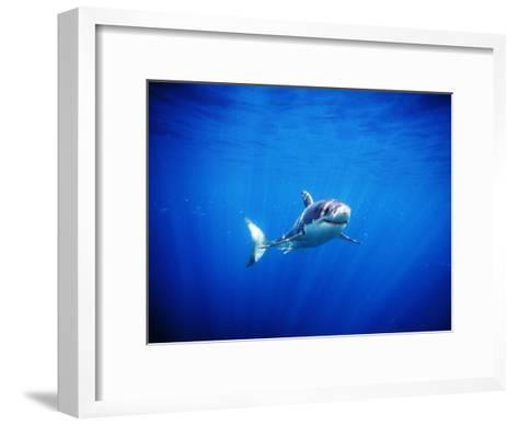 Great White Shark with Rays of Sunlight, Carcharodon Carcharias-James Forte-Framed Art Print