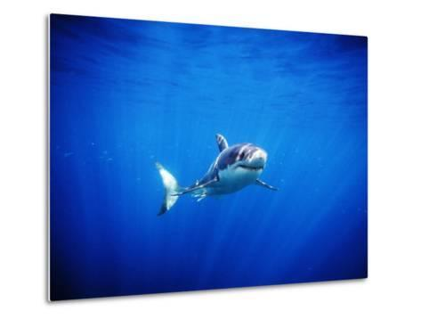 Great White Shark with Rays of Sunlight, Carcharodon Carcharias-James Forte-Metal Print