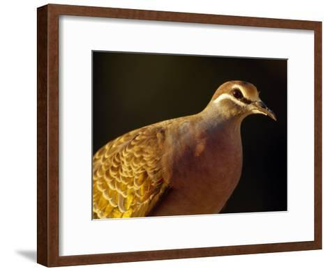Delicate Features and Feather Plumage of the Common Bronzewing Pigeon-Jason Edwards-Framed Art Print