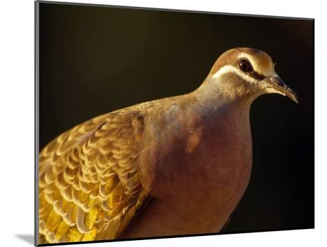 Delicate Features and Feather Plumage of the Common Bronzewing Pigeon-Jason Edwards-Mounted Photographic Print