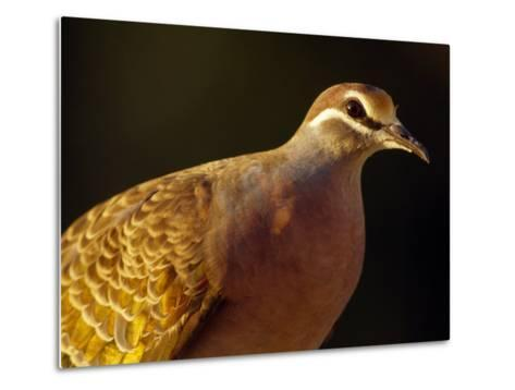 Delicate Features and Feather Plumage of the Common Bronzewing Pigeon-Jason Edwards-Metal Print