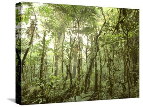 Trees and Vines in the Mist of the Monteverde Rainforest-Skip Brown-Stretched Canvas Print