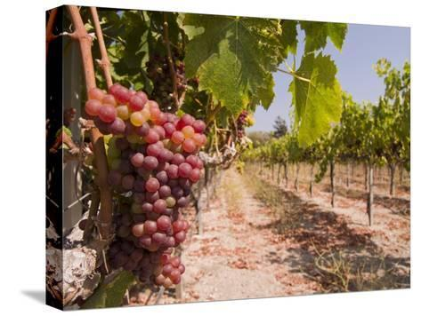 Grapes on the Vine in Monterey County-Richard Nowitz-Stretched Canvas Print