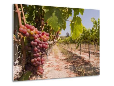 Grapes on the Vine in Monterey County-Richard Nowitz-Metal Print