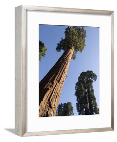 Giant Sequoia Trees (Sequoiadendron Giganteum)-Rich Reid-Framed Art Print