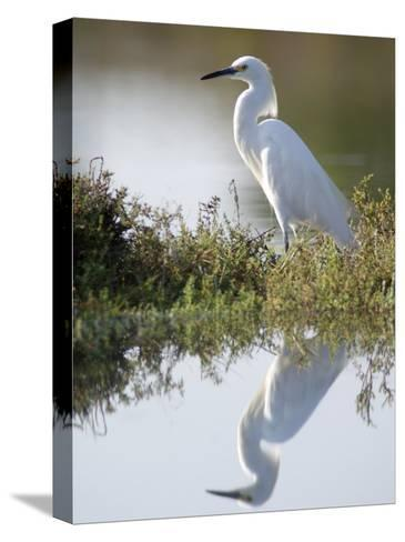 Snowy Egret (Egretta Thula) in the Los Cerritos Wetlands-Rich Reid-Stretched Canvas Print