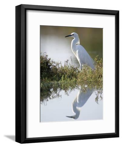 Snowy Egret (Egretta Thula) in the Los Cerritos Wetlands-Rich Reid-Framed Art Print